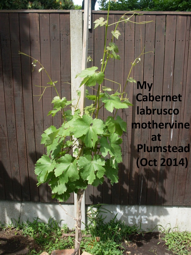 My_Cabernet_labrusco_at_49_Southfield_Rd_Plumstead-Oct_2014(1)