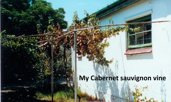 My_Cabernet_sauvignon_grapevine_at_49-circa_1996(1)