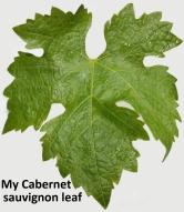 My_Cabernet_sauvignon_vine_leaf(1)