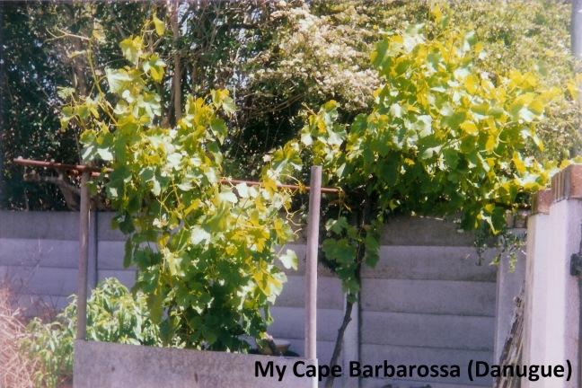 My_original_Danugue_grapevine_at_49(1)